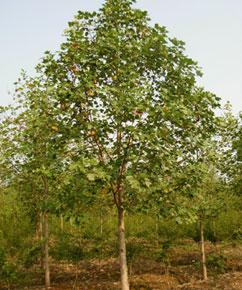 重阳木,重阳木价格,重阳木种植,重阳木苗木价格