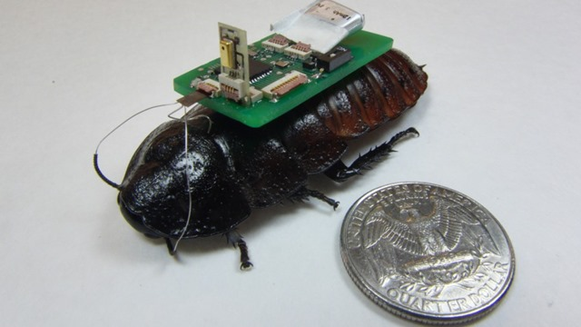 Cyborg Cockroaches able to pick up and detect the source of sounds