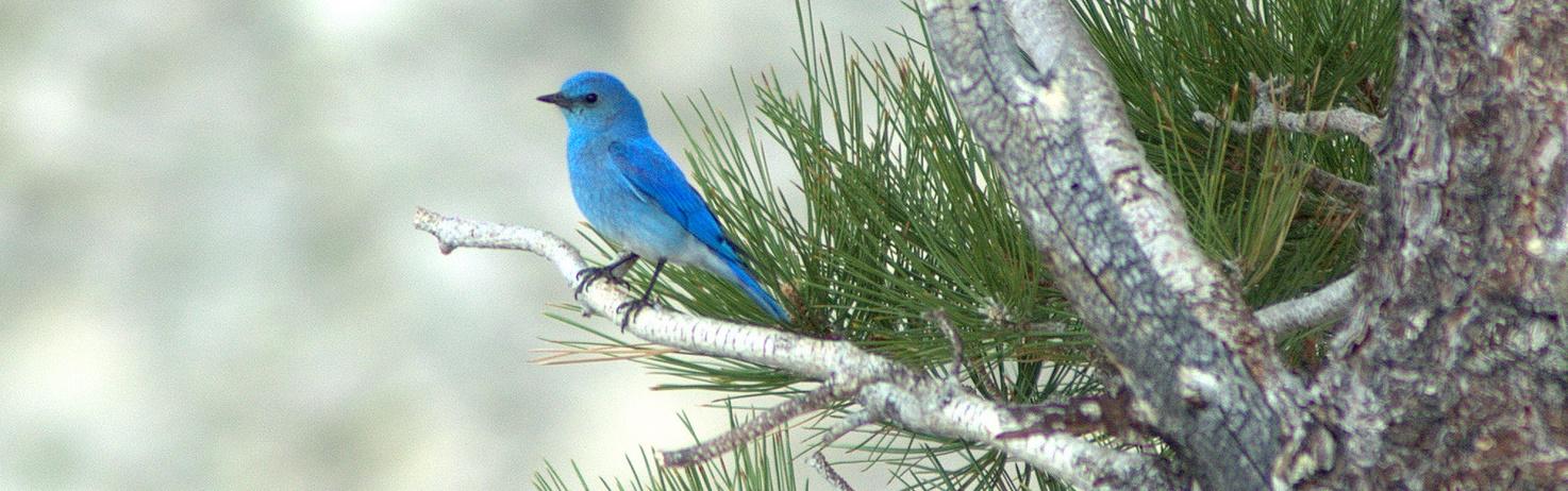Mountain Bluebird, Nevada State Bird, by Eric Miskow, NNHP