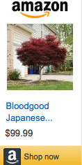Japanese-Maple-Bloodgood-99
