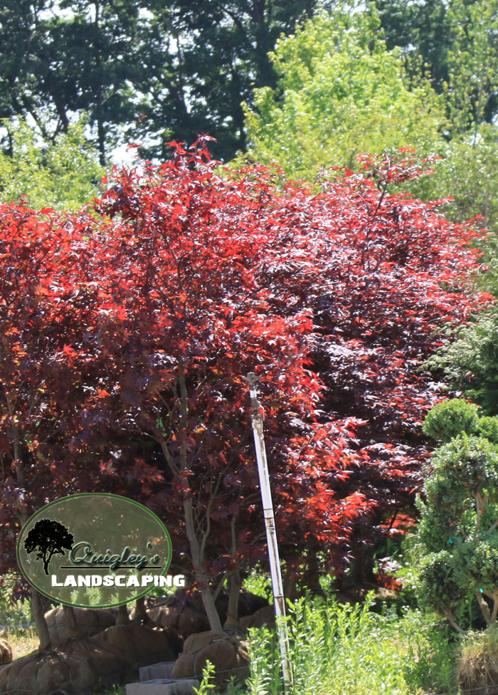 Bloodgood-Japanese-Maple-in-Nashville-TN