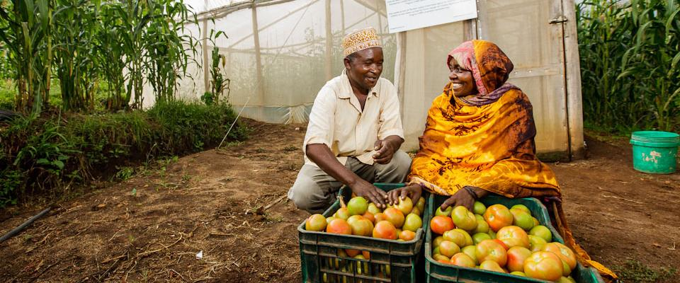 Through the introduction of low-cost greenhouses and high-quality seeds, tomato farmers are seeing increases in yields.