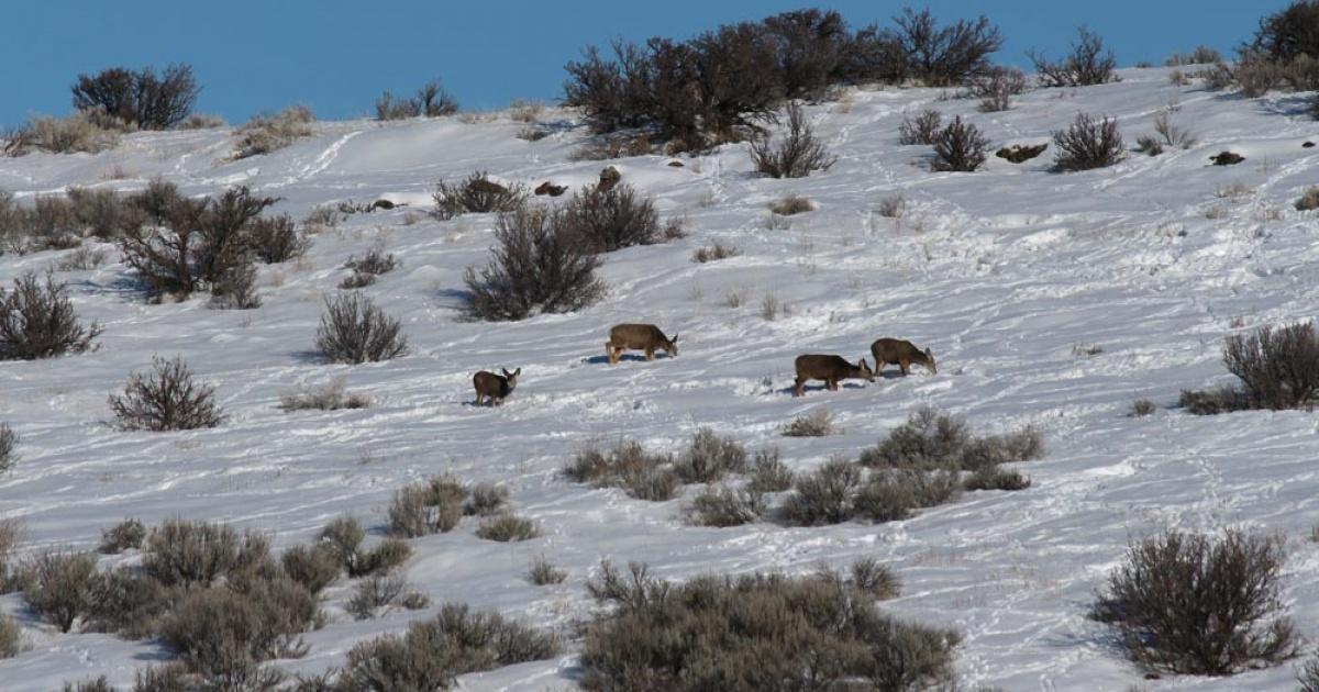 Mule deer in winter snow and sagebrush