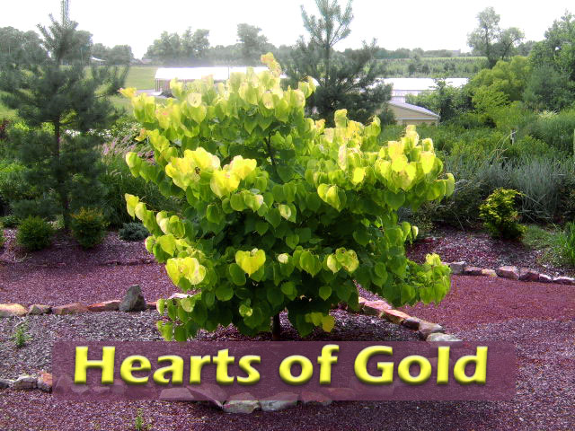 Photo of Hearts of Gold Redbud