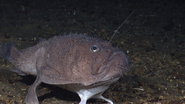 Creatures of the Deep: Anglerfish