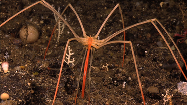 Creatures of the Deep: Sea Spider