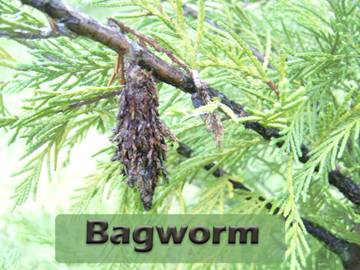 Bagworm-on-stick.jpg