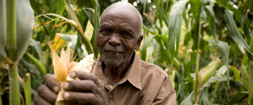 A man holds maize crops in a field