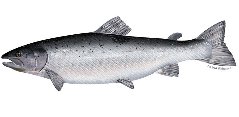 Spotlight Species: Atlantic Salmon