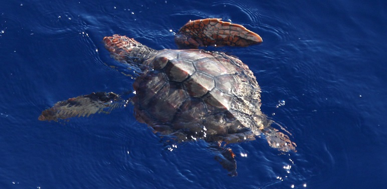 Research Discovery Exposes Loggerhead Lost Years