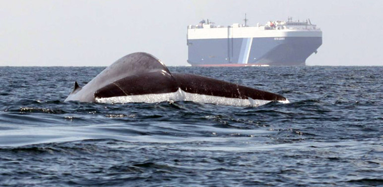 New Forecast Tools Help Ships Avoid Whale Hotspots