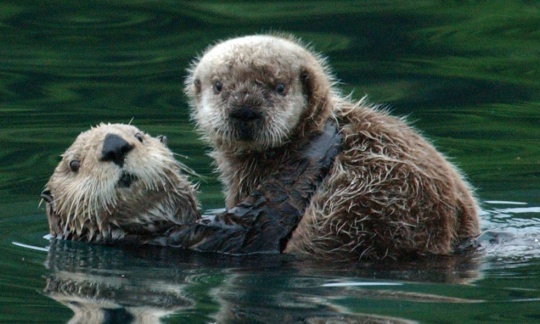 A mother sea otter holds up its baby out of the water