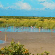 Wading birds feed near wooden posts marking a research site in a Louisiana salt marsh