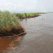 This picture was taken June 23, 2010 along the Louisiana shoreline in Barataria Bay and shows oil spilled from Deepwater Horizon