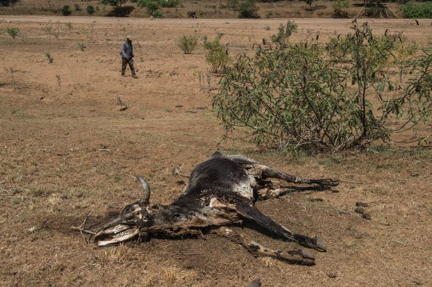 The carcass of a dead cow lies in the Black Umfolozi River, dry from the effects ot the latest severe drought, in Nongoma district north west from Durban. -AFP filepic