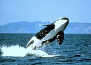 Photo of an Orca Whale in the Monterey Bay National Marine Sanctuary