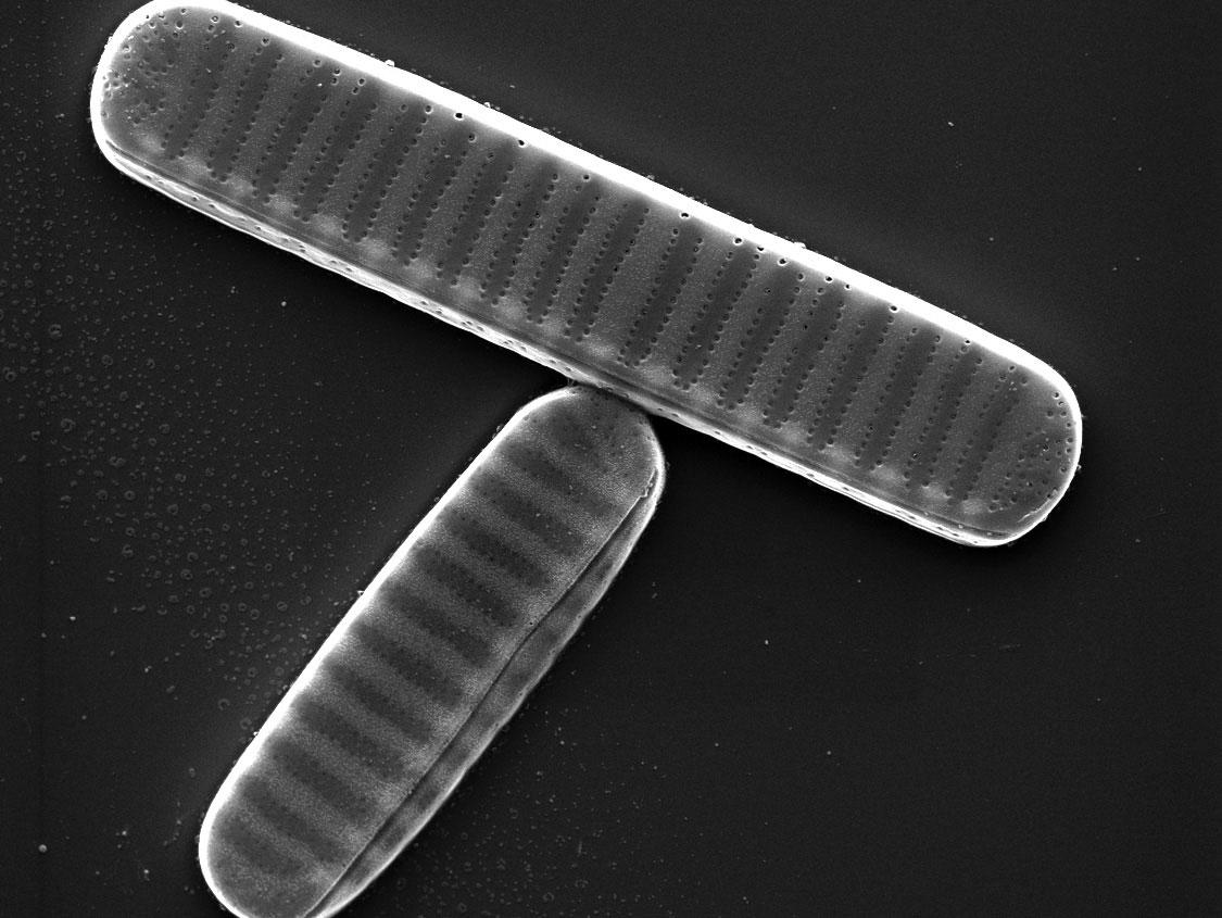 http://jgi.doe.gov/tracking-antarctic-adaptations-diatoms/