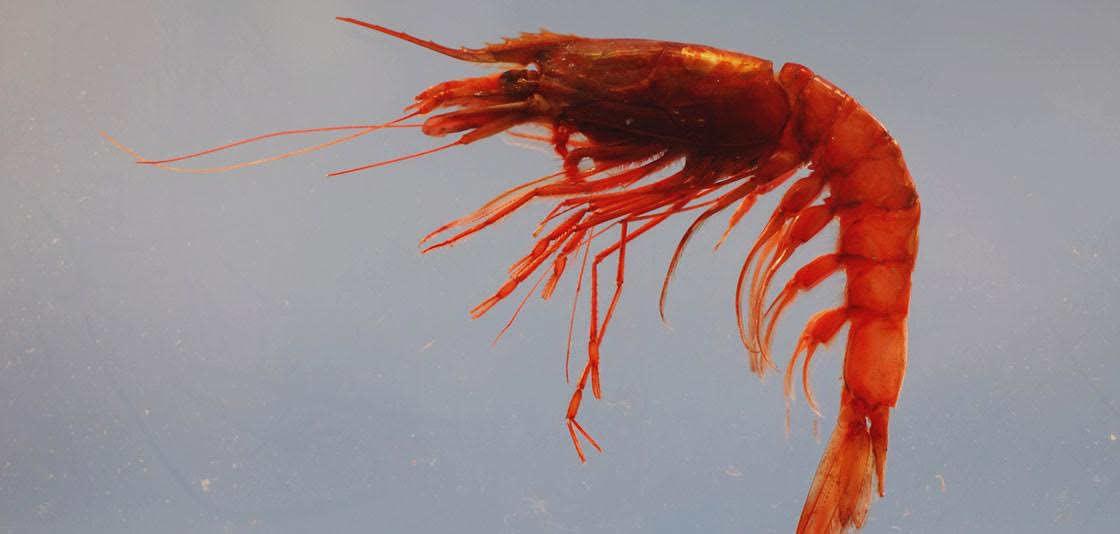 """Price of Shrimp Impacted by Gulf of Mexico """"Dead Zone"""""""