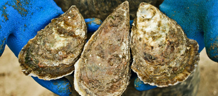 Panel Releases First Recommendations on Oyster Aquaculture Practices that Reduce Nutrients in Chesapeake Bay