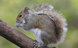 Bushytail Squirrels