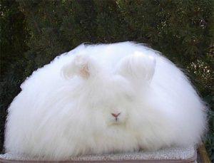 ارنب الانجرو (Angora rabbit)