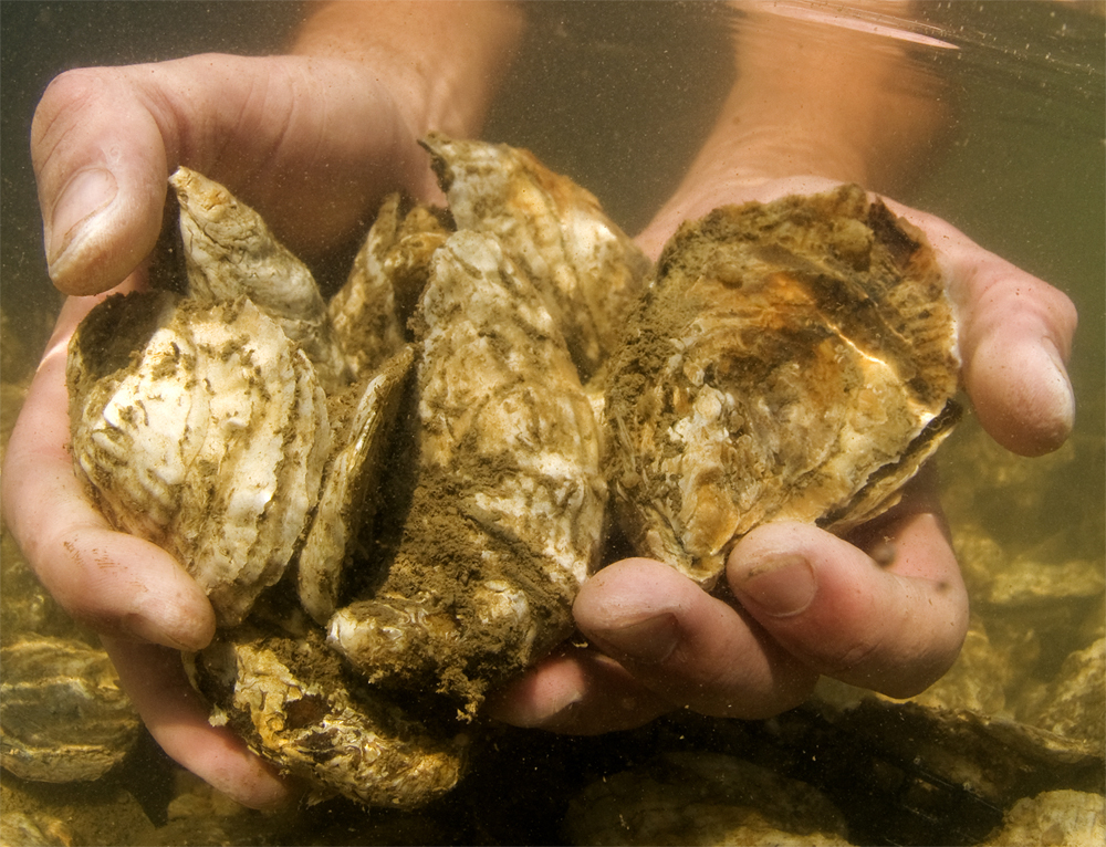 oysters being held in someone's hands underwater