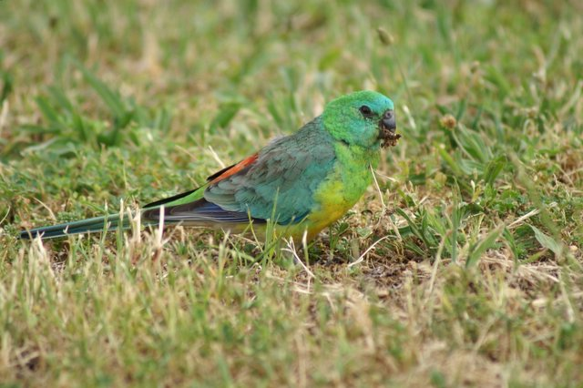 Red Rumped Grass Parrot