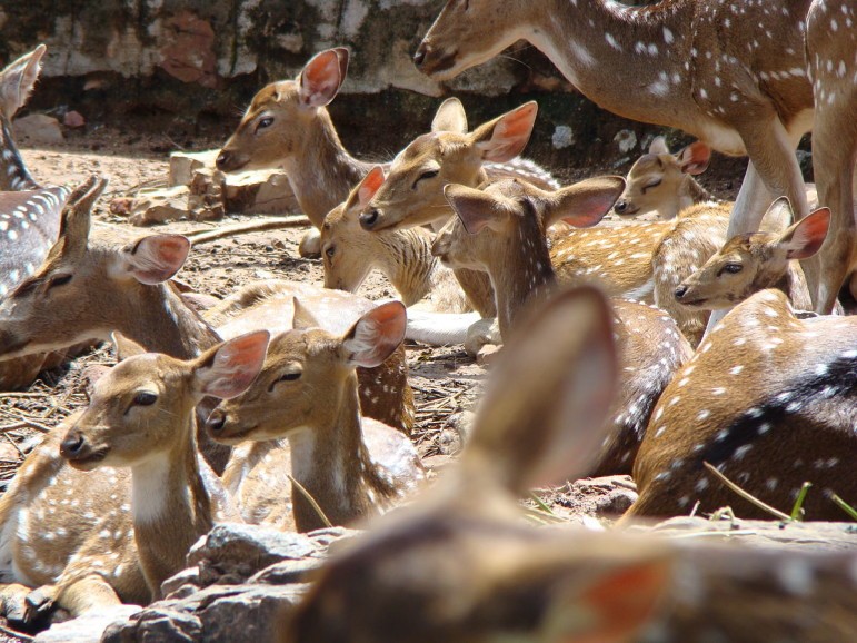 1200px-Spotted_deer_in_Tirumala