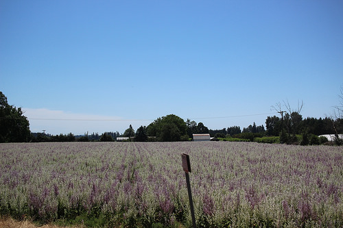 Lavender fields outside Eugene, on the way to Coburg