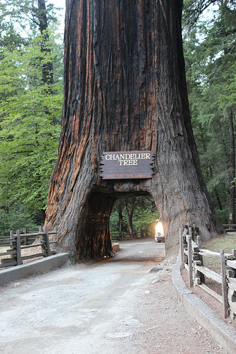 Drive-through tree at Leggett, CA