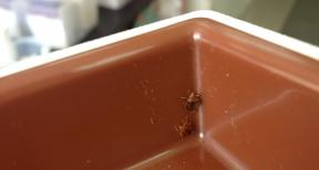 tropical bedbugs in a pitfall trap