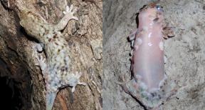 Geckolepis megalepis before and after shedding scales