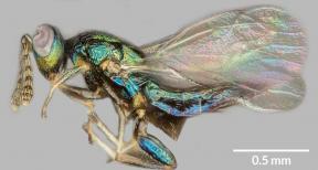 Euderus set wasp