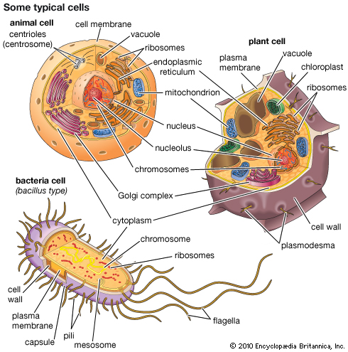 Animal cells and plant cells contain membrane-bound organelles, including a distinct nucleus. In contrast, bacterial cells do not contain organelles.