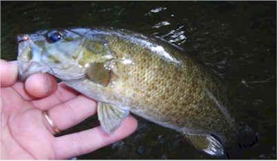 Virginia smallmouth, smallmouth bass, shenandoah valley, staunton, harrisonburg, charlottesville, virginia