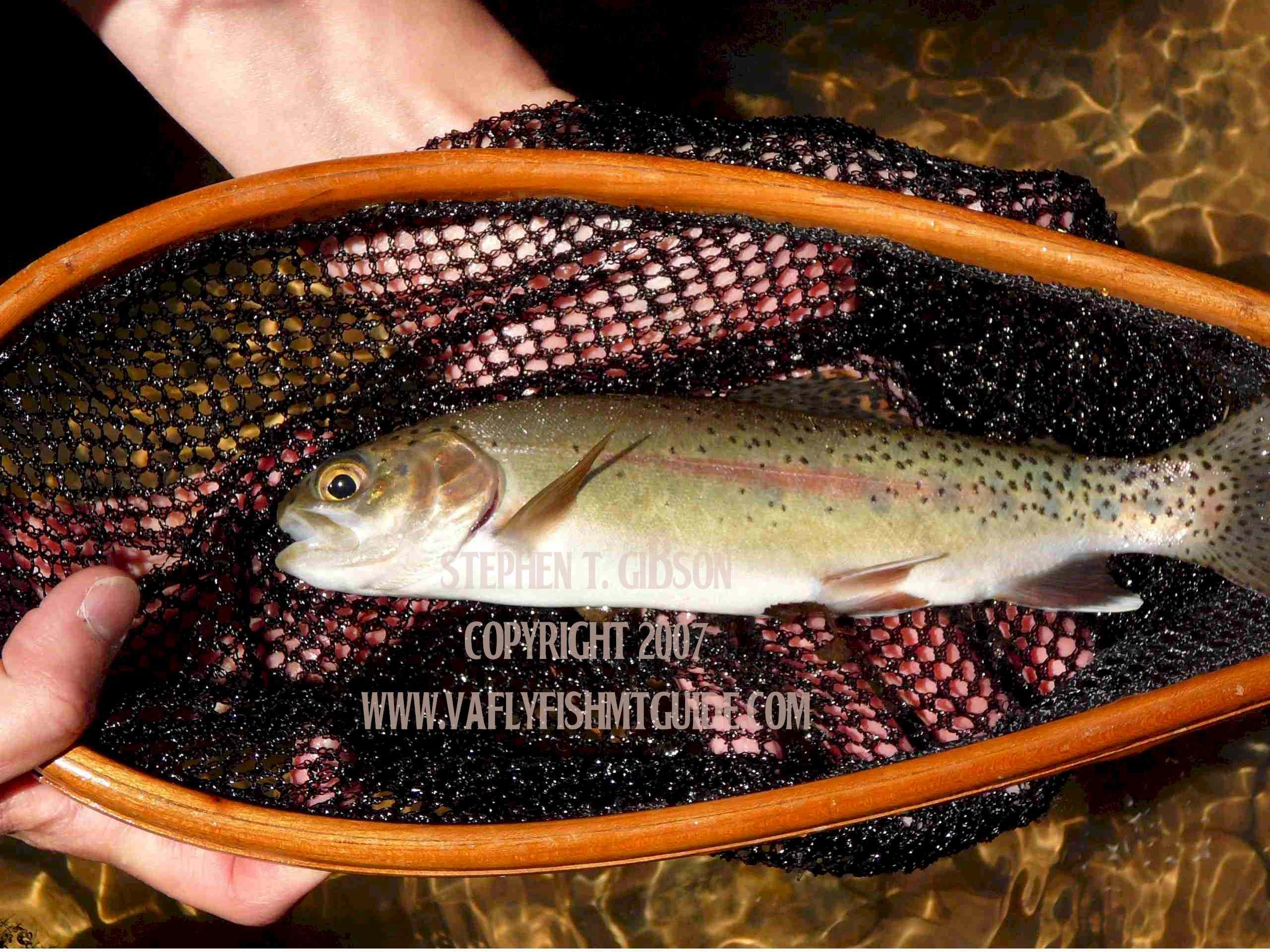 Virginia Fly Fishing in the Shenandoah Valley. Virginia fly fishing, Va Fly Fishing, Fly Fish Virginia, Virginia fly fishing with Wild Mountain Trout Fly Fishing.