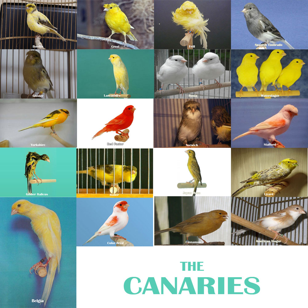 Jenis Kenari, Macam Kenari, canary series, Species canary, Gambar Kenari, Kenari Import, Kenari Lokal