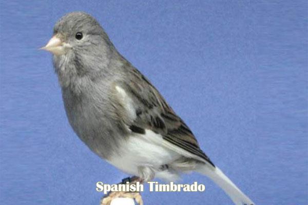 Kenari Spanish Timbrado
