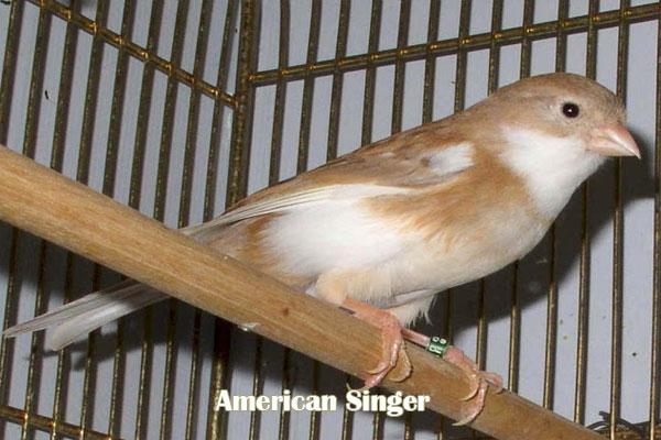 Kenari American Singer