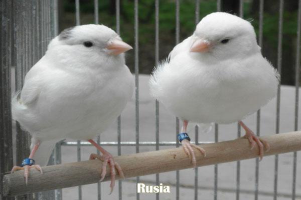 Kenari Rusia