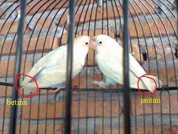Perbedaan Bentuk sayap Lovebird Jantan dan Betina