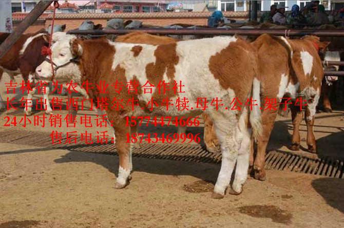 磐石东北哪里牛价低西门塔尔养殖场1