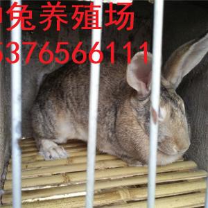 巴中市杂交野兔养殖场肉兔养殖场