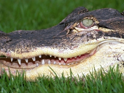 Eight-foot alligator found in family home