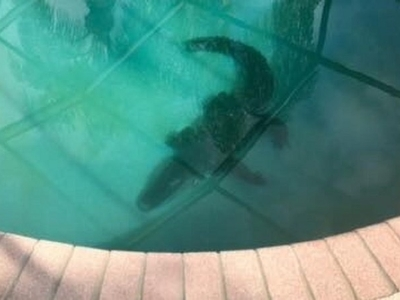 A family in Florida woke up to find an alligator in their pool