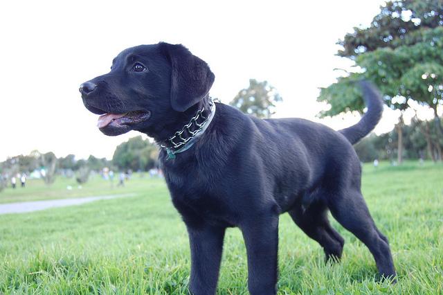 cachorro de labrador negro