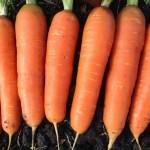 zanahoria nantes