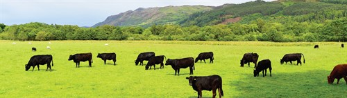 herd-of-cattle-in-a-field