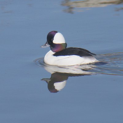 Bufflehead Duck|Bolsa Chica Wetlands|Huntington Beach, CA