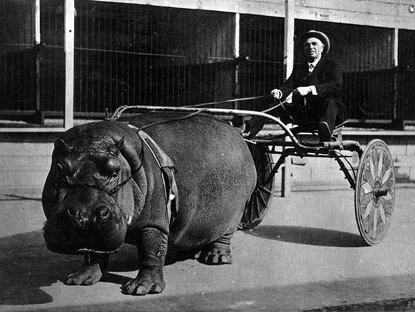 Man riding a Circus-hippo-pulling-a-cart-1924